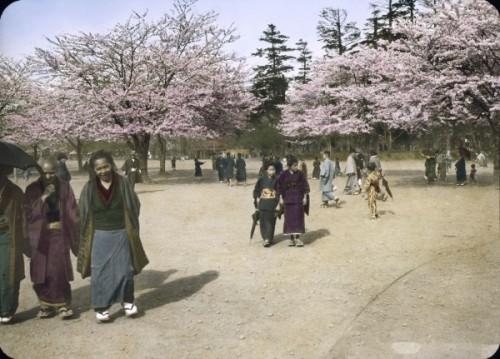JaponCerisiers.JPG